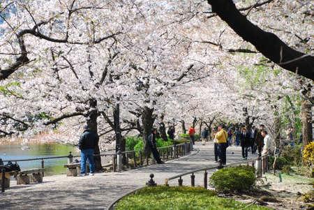 fleur de cerisier: TOKYO, JAPON - 3 avril: Le parc d'Ueno en saison de printemps avec Cherry Blossom prise le 3 Avril, 2007