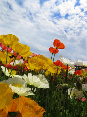poppy flower field close up Stock Photo