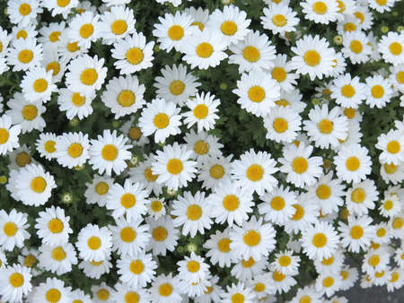 white daisy flower texture background