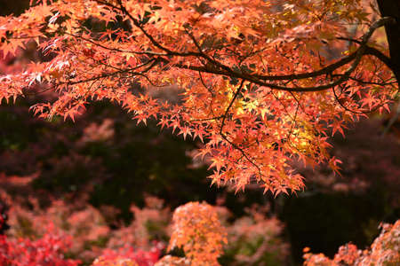 momiji: Momiji, Japanese maple in autumn season
