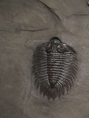 fossil trilobite imprint in the sediment