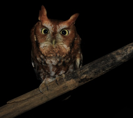 megascops: screech owl