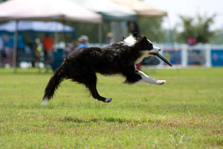 airborn: Dog Goes Airborn To Catch Frisbee In Mouth Stock Photo