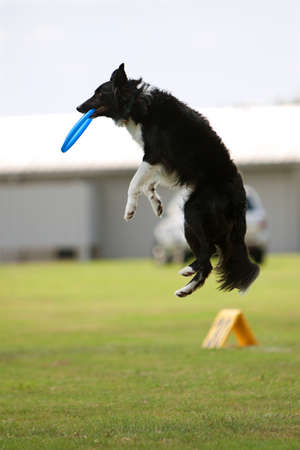 A dog jumps and catches frisbee in mouth during a competition at a wildlife festival in Conyers, GA.  Stock Photo