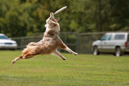 A dog jumps, stretches out and opens mouth wide to try and catch frisbee.   Stock Photo