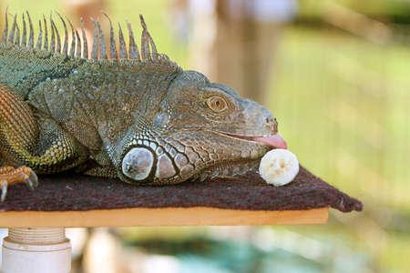 Large Iguana At Wildlife Show Licks Banana Stock Photo - 16209954