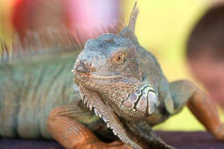 Large Iguana On Display At Wildlife Show  Stock Photo - 16209955