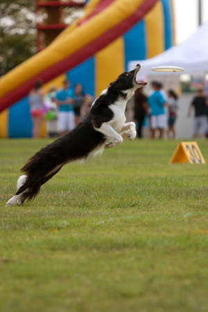 Conyers, GA, USA - August 25, 2012:  A dog jumps and opens mouth wide to try and catch frisbee in a competition at the Big Haynes Creek Wildlife Festival.