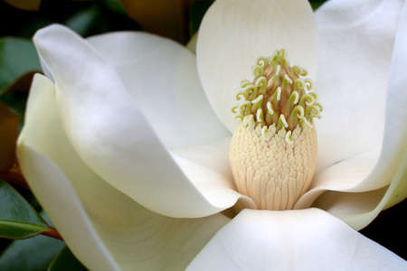 Closeup of center part of magnolia blossom with stamen photo