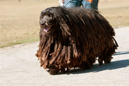 A large Bergamasco Italian sheepdog walks through a park
