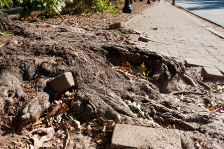 eyesore: The massive root of a giant oak tree pushes through a heavily travelled brick sidewalk in an urban area, creating an unsafe eyesore.