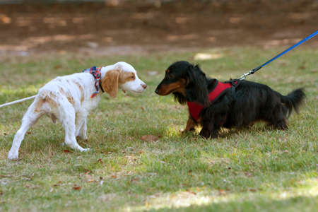 sniff: Two small dogs sniff and check each other out