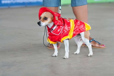 McDonough, GA, USA - May 10, 2014:  A jack russell terrier is dressed in a fireman costume at the annual Dog Days of McDonough festival. Editorial