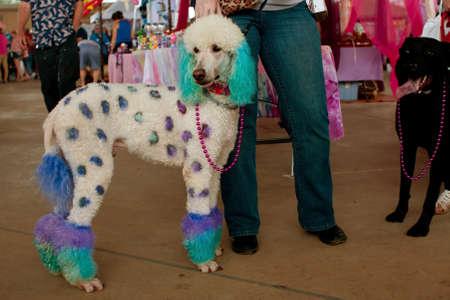 McDonough, GA, EE.UU. - 10 de mayo 2014: Una gran poodle se tiñe con los puntos de polca y colores en las Jornadas anuales de perro de McDonough festival. Foto de archivo - 29879581