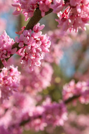 Pink blossoms in full bloom on eastern redbud tree mark beginning of spring season.