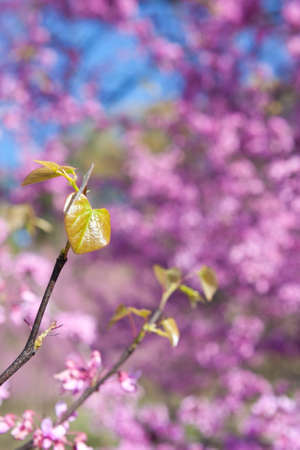 redbud tree: New leaves sprout amid pink blossoms on eastern redbud tree to mark the beginning of the spring season.