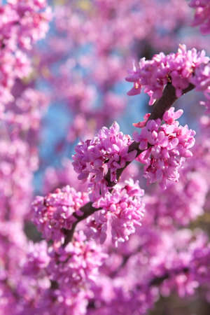 blooming purple: Closeup of the bright pink blooms of an eastern redbud tree in springtime. Stock Photo