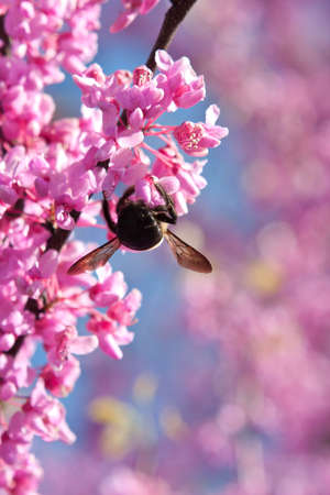 redbud: A bumble bee hangs upside down pollinating a pink blossom on an eastern redbud tree.