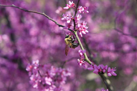 redbud: Bumble bee pollinates the blossoms on an eastern redbud tree