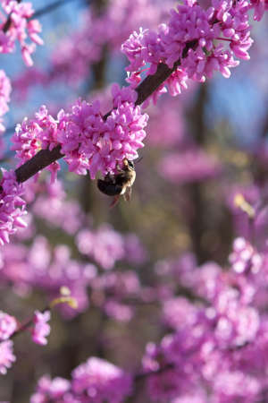 bumble bee: A bumble bee pollinates a blossom on an eastern redbud tree.