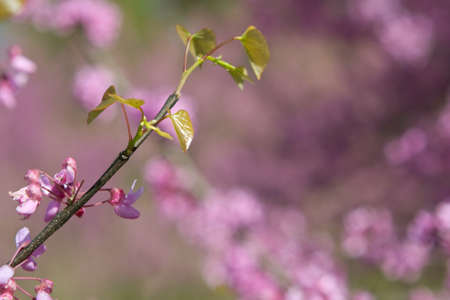 redbud: New green leaves sprout on branch of an eastern redbud tree to help bring in spring.