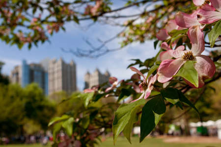 spring season: The pink blossoms of a dogwood tree in Piedmont Park frame an Atlanta cityscape as spring unfolds in the city.