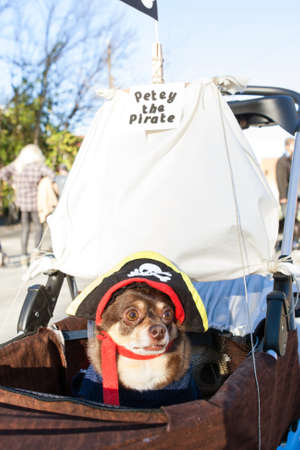 grassroots: Atlanta, GA, USA - December 5, 2015:  A dog dressed like a pirate sits in a baby stroller outfitted like a pirate ship at the conclusion of a dog costume parade on December 5, 2015 in Atlanta, GA.