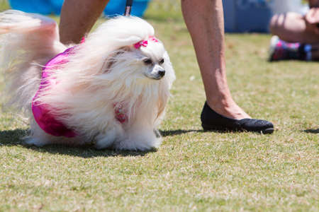dog in costume: Snellville, GA, USA - May 14, 2016: A pretty poodle with long flowing fur walks in a dog costume contest at the Pawfest dog festival, on May 14, 2016 in Snellville, GA.