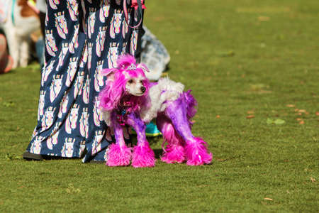 Suwanee, GA, USA - May 6, 2017:  A poodle with fur dyed purple and wearing a tiara, stands with its owner in a park at Woofstock, a dog festival at Suwanee Town Center on May 6, 2017 in Suwanee, GA.