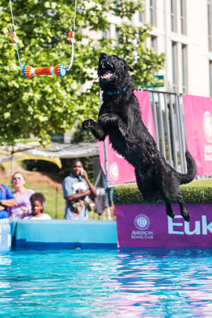 Suwanee, GA, USA - May 6, 2017:  A dog leaps off of a dock to try and grab a dog toy suspended over a pool of water, at the Woofstock dog festival on May 6, 2017 in Suwanee, GA. Editorial
