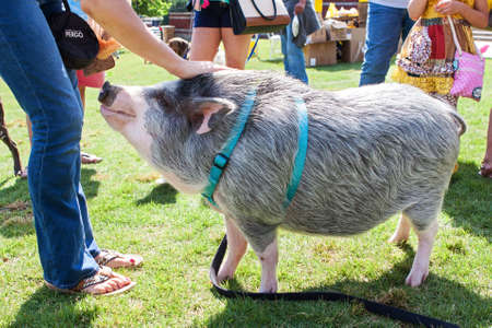 Suwanee, GA, USA - May 6, 2017:  A pet pig on a leash is petted by an admirer at the Woofstock Dog Festival, on May 6, 2017 in Suwanee, GA.