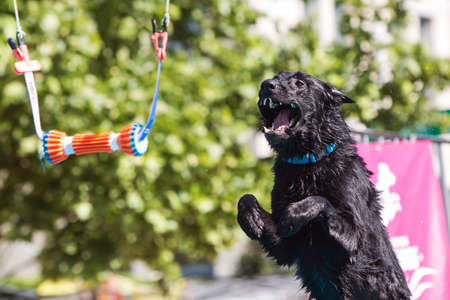Suwanee, GA, USA - May 6, 2017:  A dog opens its mouth wide attempting to grab a suspended object over a pool of water in a dock jumping competiton at Woofstock, a dog festival at Suwanee Town Center on May 6, 2017 in Suwanee, GA.