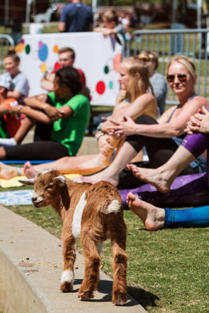 Suwanee, GA, USA - April 29, 2018:  A baby goat walks along a curb in front of women stretching in a goat yoga event at a public park on April 29, 2018 in Suwanee, GA.
