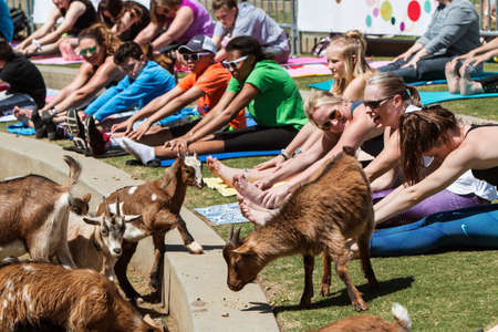 Suwanee, GA, USA - April 29, 2018:  Goats walk along a curb in front of people stretching in a free goat yoga event at Suwanee Towne Park on April 29, 2018 in Suwanee, GA.