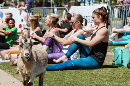 Suwanee, GA, USA - April 29, 2018:  A goat stands among women stretching in a goat yoga event at a public park on April 29, 2018 in Suwanee, GA. Editorial
