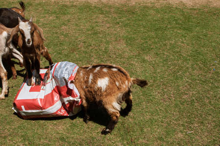 Suwanee, GA, USA - April 29, 2018:  A goat buries his head in a bag of goat feed while another goat stands on the bag, at a goat yoga event on April 29, 2018 in Suwanee, GA.