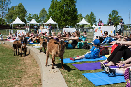Suwanee, GA, USA - April 29, 2018:  Goats walk along a curb in front of people stretching in a free goat yoga class at Suwanee Towne Park on April 29, 2018 in Suwanee, GA.