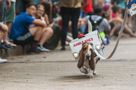 Atlanta, GA, USA - August 18, 2018:  A cute basset hound walks for the crowd wearing an ambulance costume with flashing lights at Doggy Con, an event where dogs and their owners wear costumes and are judged for prizes, on August 18, 2018 in Atlanta, GA. Editorial