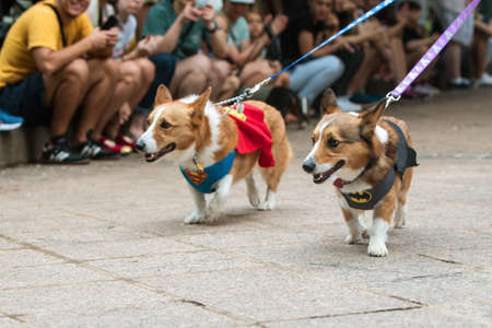 Atlanta, GA, USA - August 18, 2018:  Two corgi dogs, one wearing a superman costume, the other a batman costume, walk at Doggy Con, an event where dogs and their owners wear costumes and are judged for prizes, on August 18, 2018 in Atlanta, GA.