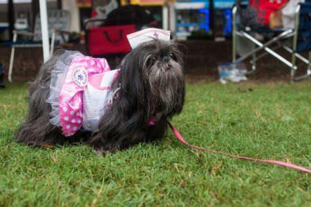Atlanta, GA, USA - August 18, 2018:  A shih tzu wears a candy striper nurse costume at Doggy Con, a dog costume contest at Woodruff Park on August 18, 2018 in Atlanta, GA.