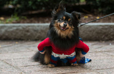 Atlanta, GA, USA - August 18, 2018:  A cute dog wearing a super hero costume has a curious expression at Doggy Con, an event where dogs and their owners dress up in costumes and are judged for prizes, on August 18, 2018 in Atlanta, GA.
