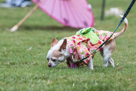 Atlanta, GA, USA - August 18, 2018:  A small dog wearing a kimono sniffs the grass at the conclusion of Doggy Con, a dog costume contest in Woodruff Park on August 18, 2018 in Atlanta, GA.