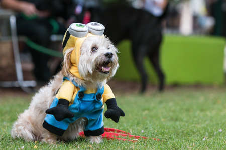 Atlanta, GA, USA - August 18, 2018:  A cute dog wears a minion costume from the movie Despicable Me at Doggy Con, a dog costume contest in Woodruff Park on August 18, 2018 in Atlanta, GA.