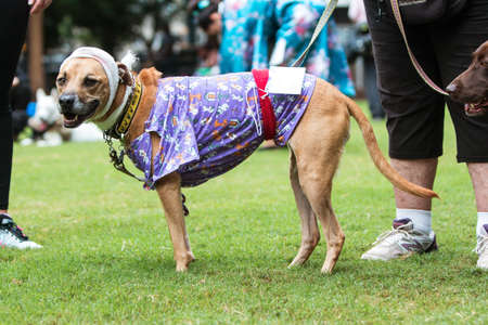 Atlanta, GA, USA - August 18, 2018:  A dog wears a head bandage and hospital gown as part of a hospital patient costume at Doggy Con, a dog costume contest in Woodruff Park on August 18, 2018 in Atlanta, GA.