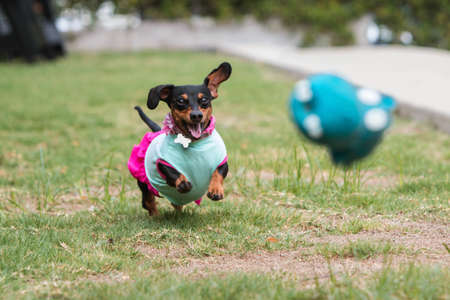A cute dachshund wearing clothes chases after a toy tossed by its owner in a public park. Banco de Imagens