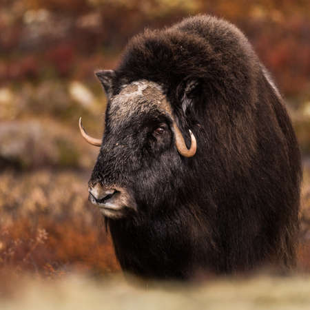 Musk ox outdoors at dovre mountain in Norway