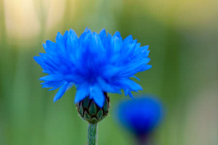 Macro photo of a wild flower in Sweden Banque d'images