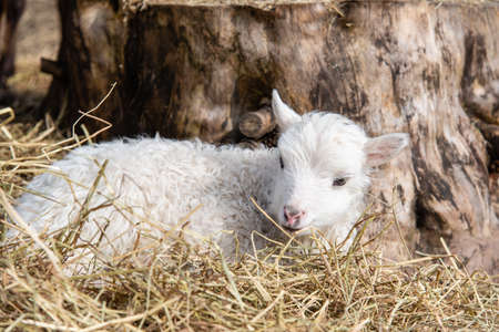 young little white and cute lamb in Sweden 2018 Stock Photo
