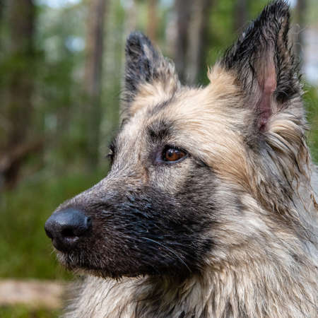a close up portrait of a dog in a swedish forest