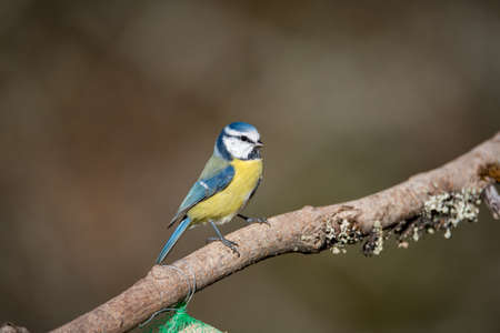 bluetit in a garden in the town of Filipstad in Sweden